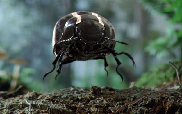 black-beetle-schwarzer-kafer.png